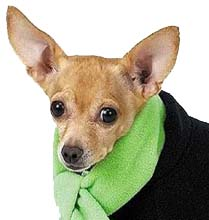 Chihuahua in a scarf