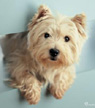 Westie fridge magnet